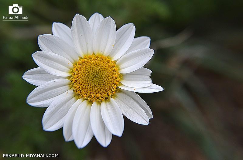 ماکرو از گل