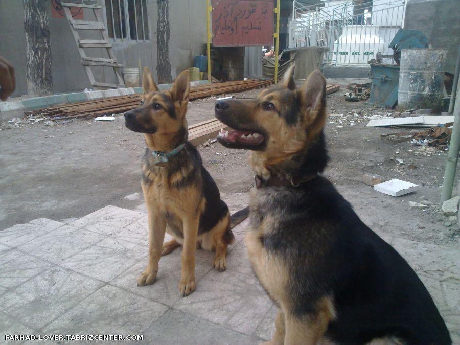 قیمت سگ نژاد ژرمن شپرد