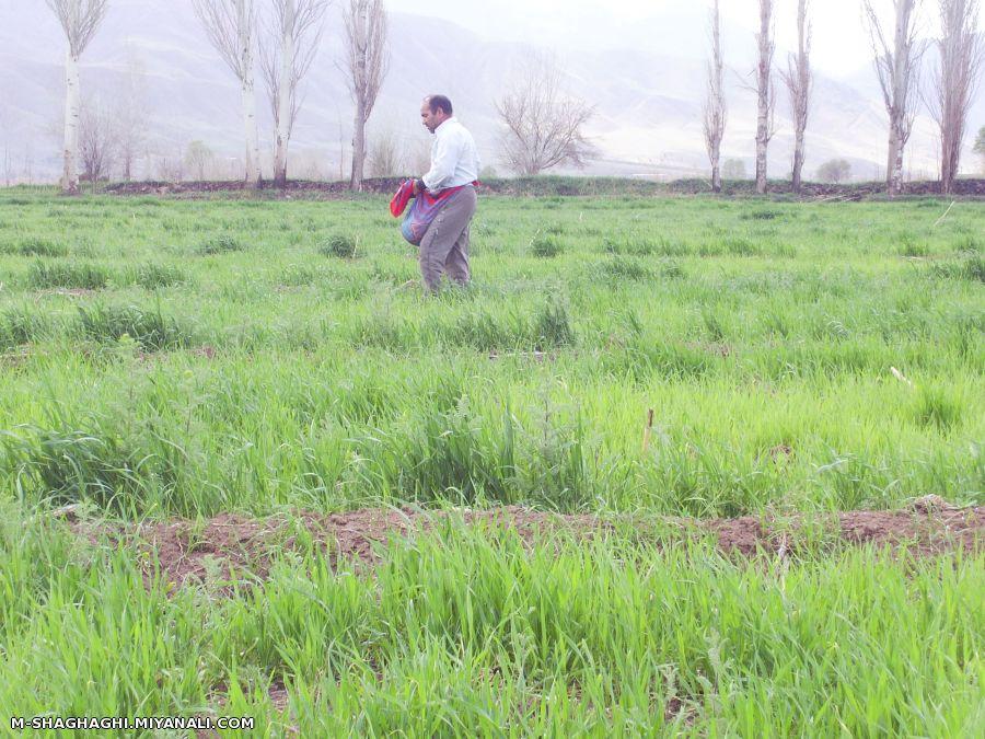 سبز  گندم در خاک پایگاه کشاورزی ایران زمین - کشت گندم در خاک های سنگین