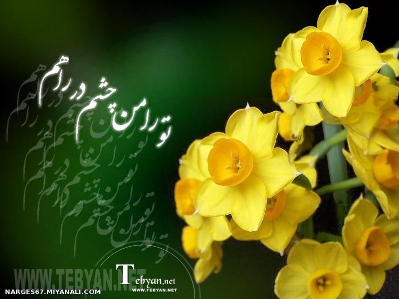 عکس گل نرگس زهرا